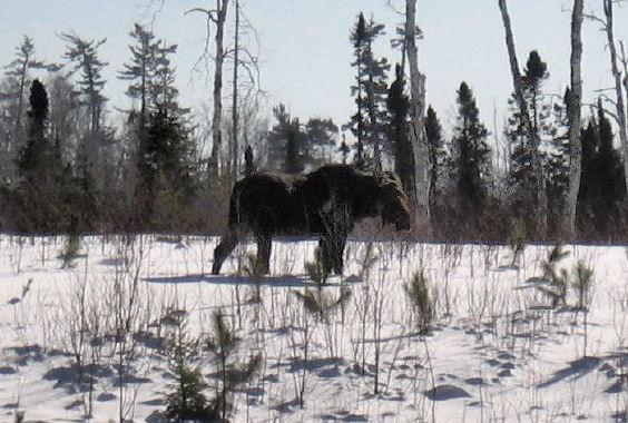 Moose on BearCub