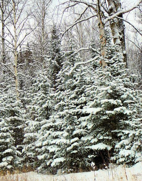12808-snowy-trees