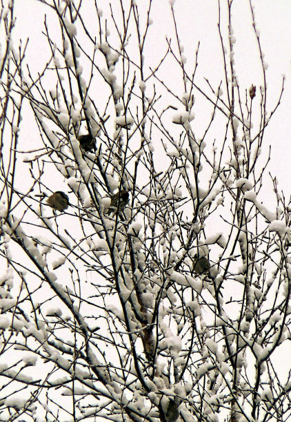 Birds clustered in a snow covered tree this morning.