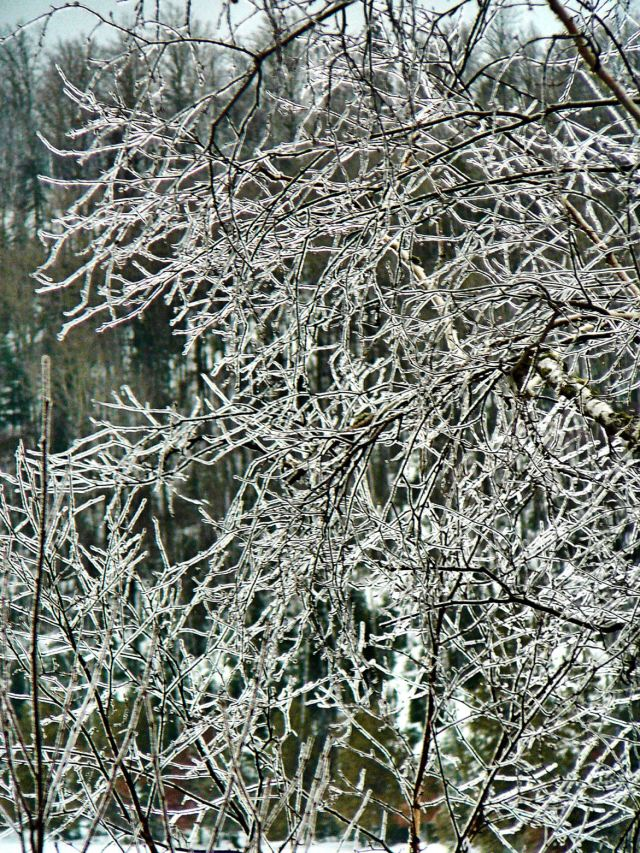 Trees coated in ice today.