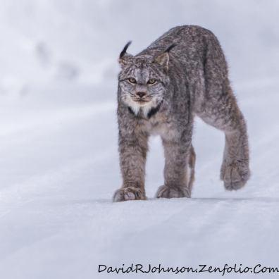 david JOhnson Lynx