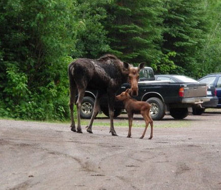 moose in parking lot crop