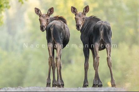 nace hagemann two moose for blog