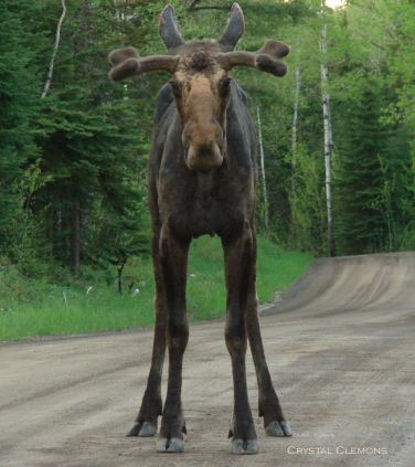 young moose original eyes fixed crystal name