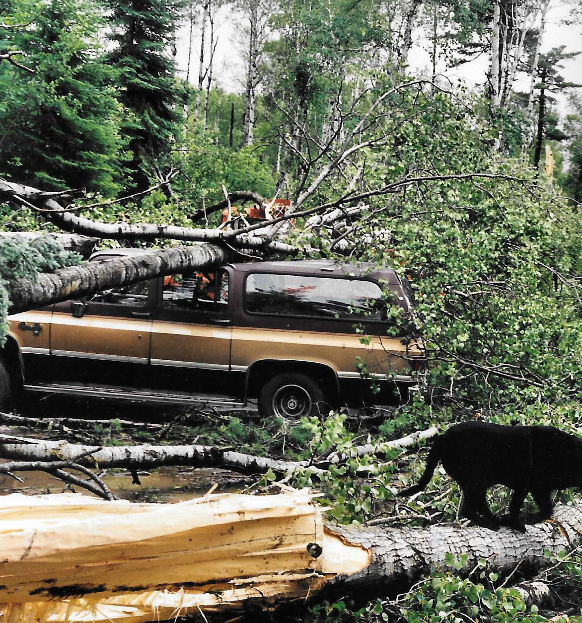 blowdown trees on brown suburban